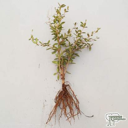 Buy Berberis julianae (Bare Root) online from Jacksons Nurseries