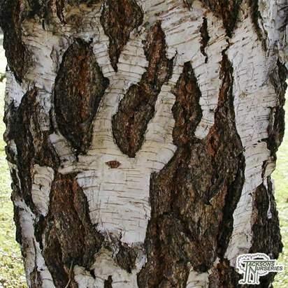 Buy Betula Pendula (Silver Birch) in the UK