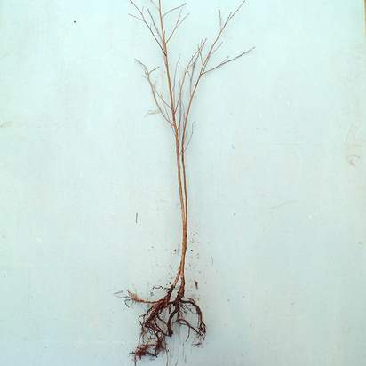 Buy Betula pendula Bare Root online from Jacksons Nurseries