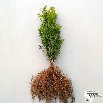 Buy Buxus sempervirens Bare Root online from Jacksons Nurseries
