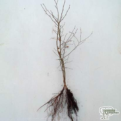Buy Carpinus betulus Bare Root online from Jacksons Nurseries