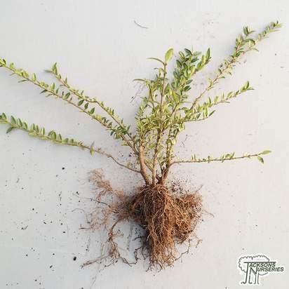 Buy Lonicera pileata (Bare Root) online from Jacksons Nurseries.