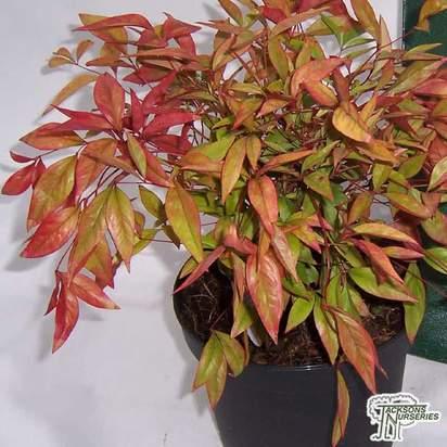 Buy Nandina domestica Firepower (Heavenly Bamboo) online from Jacksons Nurseries.