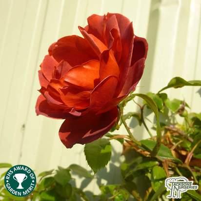 Buy Rosa Hot Chocolate online from Jacksons Nurseries