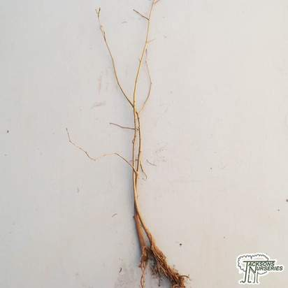 Buy Salix cinerea (Grey Willow) BARE ROOT in the UK