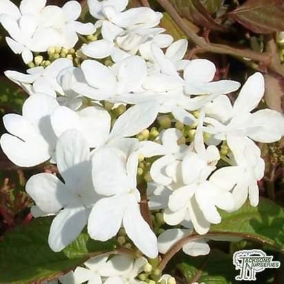 Buy Viburnum plicatum f. tomentosum Mariesii (Japanese snowball) online from Jacksons Nurseries.