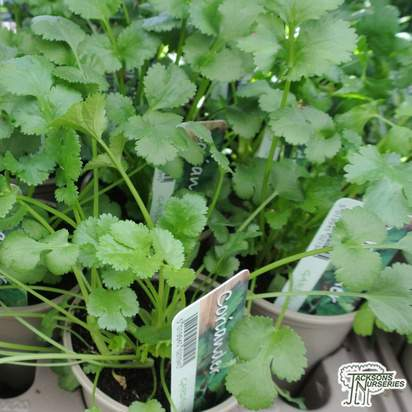 Buy Coriandrum sativum (Coriander) online from Jacksons Nurseries.