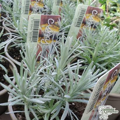 Buy Helichrysum italicum (Curry) online from Jacksons Nurseries.
