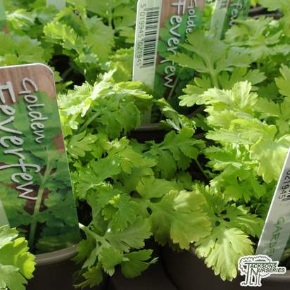 Buy Tanacetum parthenium, (Feverfew) online from Jacksons Nurseries.