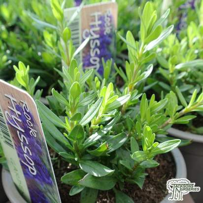 Buy Golden Marjoram (Origanum majorana 'Aureum') online from Jacksons Nurseries.