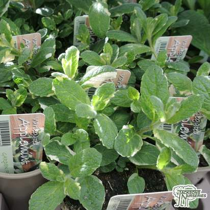 Buy mentha suaveolens variegata , (Applemint) online from Jacksons Nurseries.