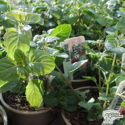 Buy Satureja douglasii , mint (Indian) online from Jacksons Nurseries.
