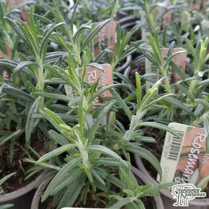 Buy Rosmarinus officinalis online from Jacksons Nurseries.