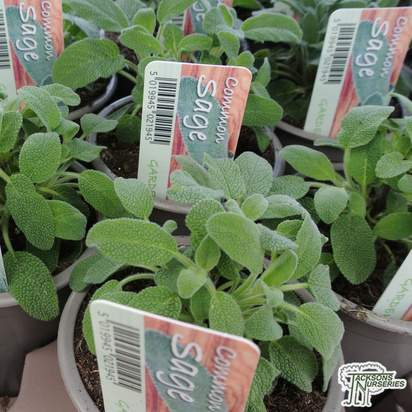 Buy Sage (Salvia officinalis) online from Jacksons Nurseries.