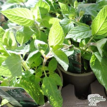 Buy Salvia elegans Sage (Pineapple) online from Jacksons Nurseries.