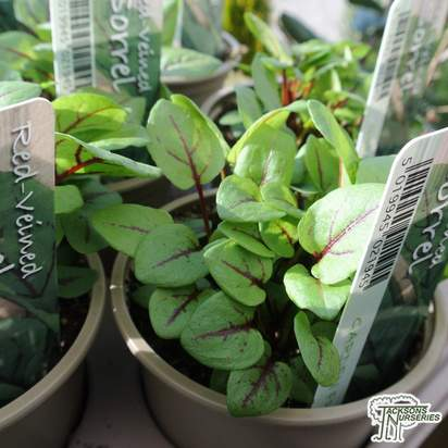 Buy Rumex acetosa (Sorrel) online from Jacksons Nurseries.
