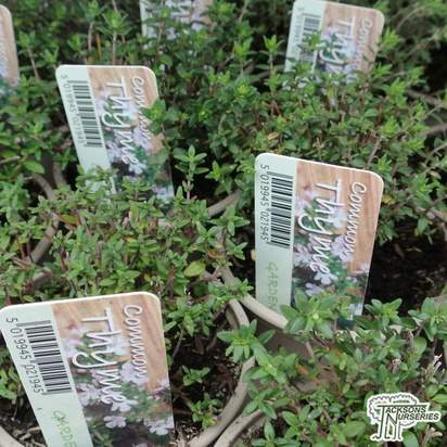 Buy Thymus vulgaris online from Jackson's Nurseries.