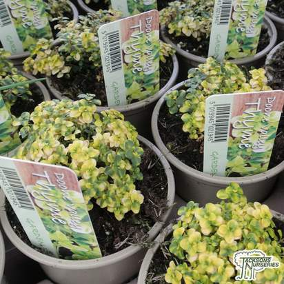 Buy Thymus Doone Valley online from Jacksons Nurseries.