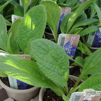 Buy Borago officinalis (borage) online from Jacksons Nurseries.