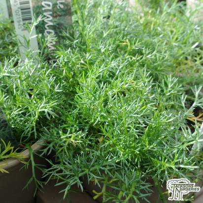 Buy Chamomile online from Jacksons Nurseries.