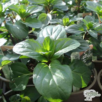 Buy mentha, x piperita citrata (Basil) online from Jacksons Nurseries.