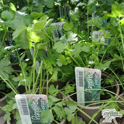 Buy Petroselinum crispum (Parsley) online from Jacksons Nurseries.