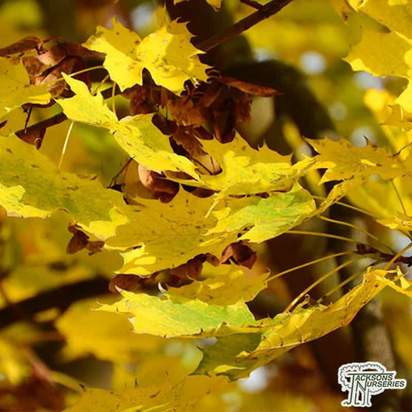 Buy Acer platanoides 'Princeton Gold'  (Norway maple) online from Jacksons Nurseries