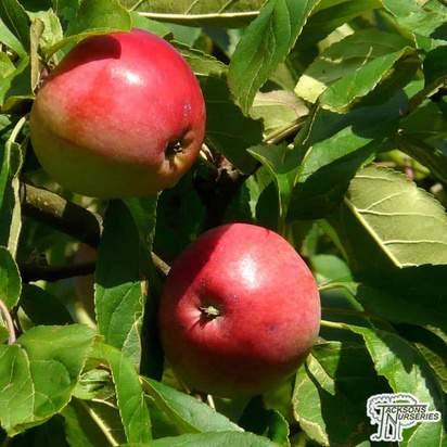 Buy Apple - Malus domestica goldcot  (Apple Bush) online from Jacksons Nurseries