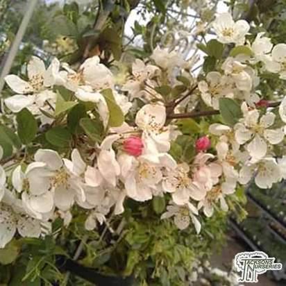 Buy Apple - Malus domestica Red Falstaff online from Jacksons Nurseries.