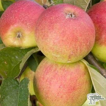 Buy Apple - Malus domestica Jonagold online from Jacksons Nurseries