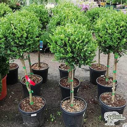 Buy Buxus sempervirens 'Topiary Lollipop' (Common Box) online from Jacksons Nurseries.