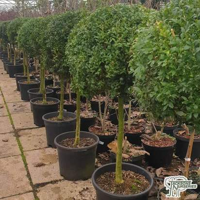 Buy Buxus sempervirens 'Topiary Lollipop' (Common Box) online from Jacksons Nurseries.
