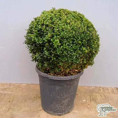 Buy Buxus sempervirens Ball (Common Box) online from Jacksons Nurseries.