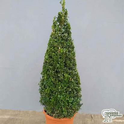 Buy Buxus sempervirens Cone (Common Box) online from Jacksons Nurseries.