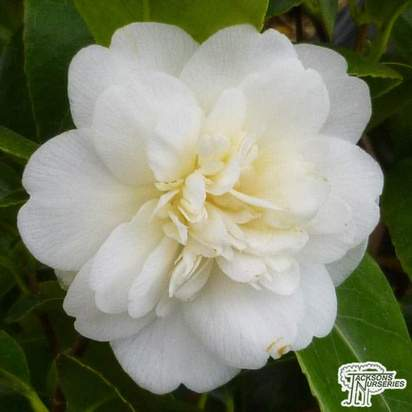 Buy Camellia swan lake (Camellia japonica) online from Jacksons Nurseries