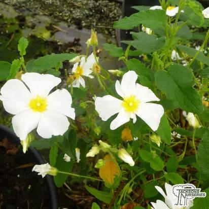 Buy Cistus x hybridus (syn. Cistus x corbariensis) online from Jacksons Nurseries.