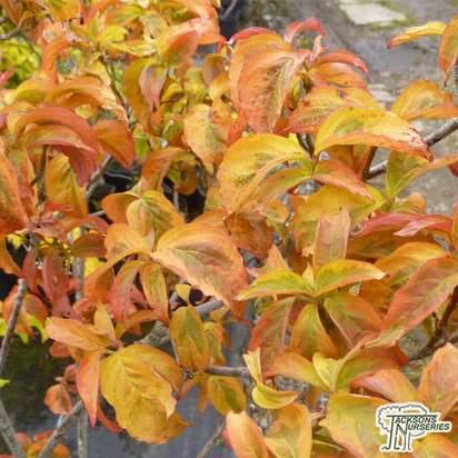 Buy Cornus florida 'Sunset' ( Dogwood) online from Jacksons Nurseries.
