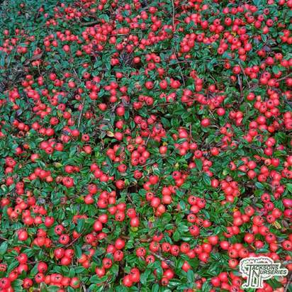 Buy Cotoneaster x suecicus Coral Beauty (Tree) online from Jacksons Nurseries