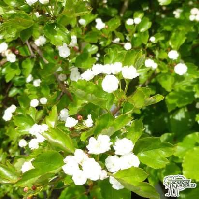 Buy Crataegus laevigata Plena (Hawthorn) online from Jacksons Nurseries.