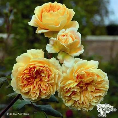 Buy Rosa Crown Princess Margareta (English Shrub Rose) online from Jacksons Nurseries.