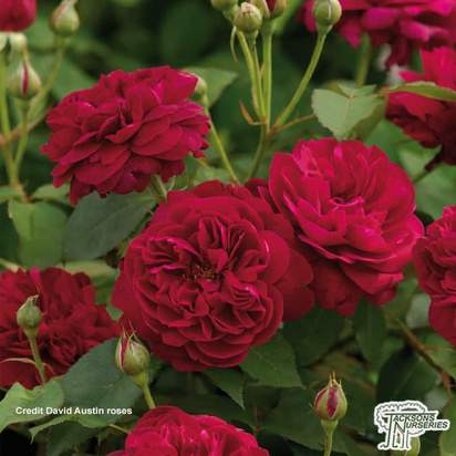 Buy Rosa 'Darcey Bussell' (English Shrub Rose) online from Jacksons Nurseries.