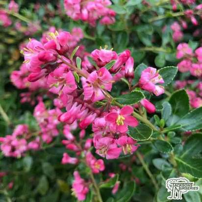 Buy Escallonia Apple Blossom (Escallonia) online from Jacksons Nurseries.
