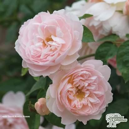 Buy Rosa 'Gentle Hermoine' (English Shrub Rose) online from Jacksons Nurseries.