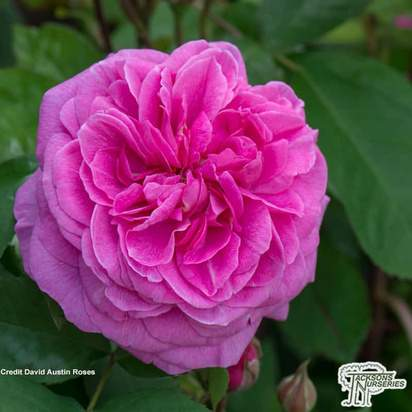 Buy Rosa Gertrude Jekyll (English Shrub Rose) online from Jacksons Nurseries.