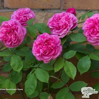 Buy Rosa Gertrude Jekyll (English Shrub Rose) online from Jacksons Nurseries.