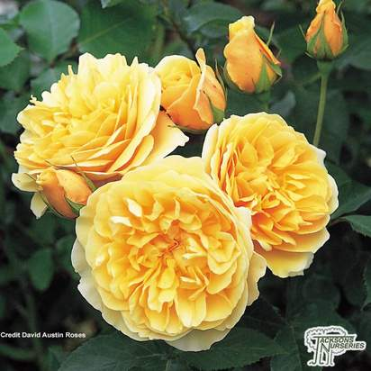 Buy Rosa Graham Thomas online from Jacksons Nurseries.