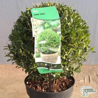 Buy Ilex crenata Topiary Cone (Japanese Privet) online from Jacksons Nurseries
