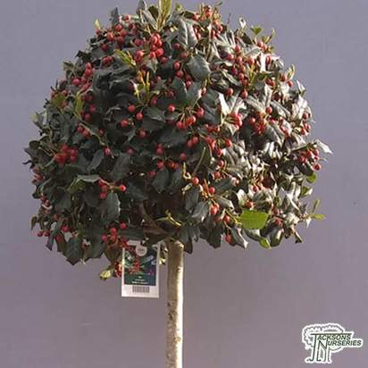 Buy Ilex nellie r stevens topiary lollipop (Holly) online from Jacksons Nurseries