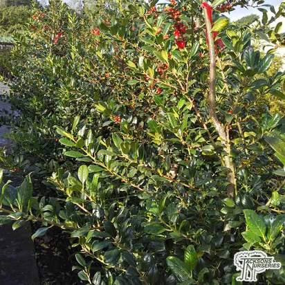 Buy Ilex aquifolium J.C. van Tol (Holly) online from Jacksons Nurseries.
