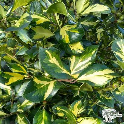 Buy Ilex x altaclerensis Lawsoniana (Holly) online from Jacksons Nurseries